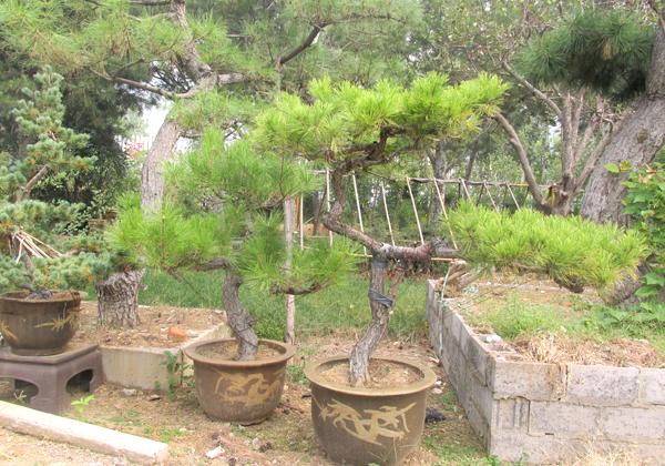 园林盆景4