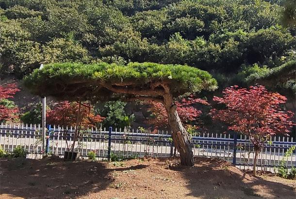 海松(平顶)