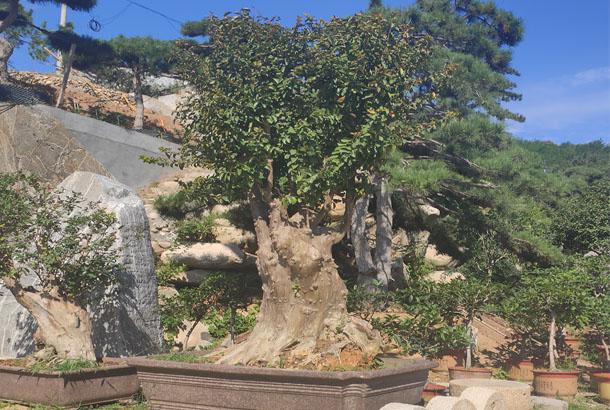 百日红盆景